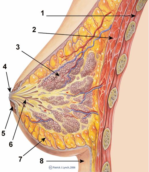 zgradba dojke